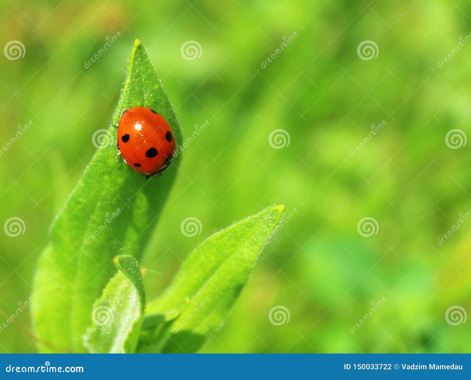 Ladybug на зеленой предпосылке конца-вверх лист