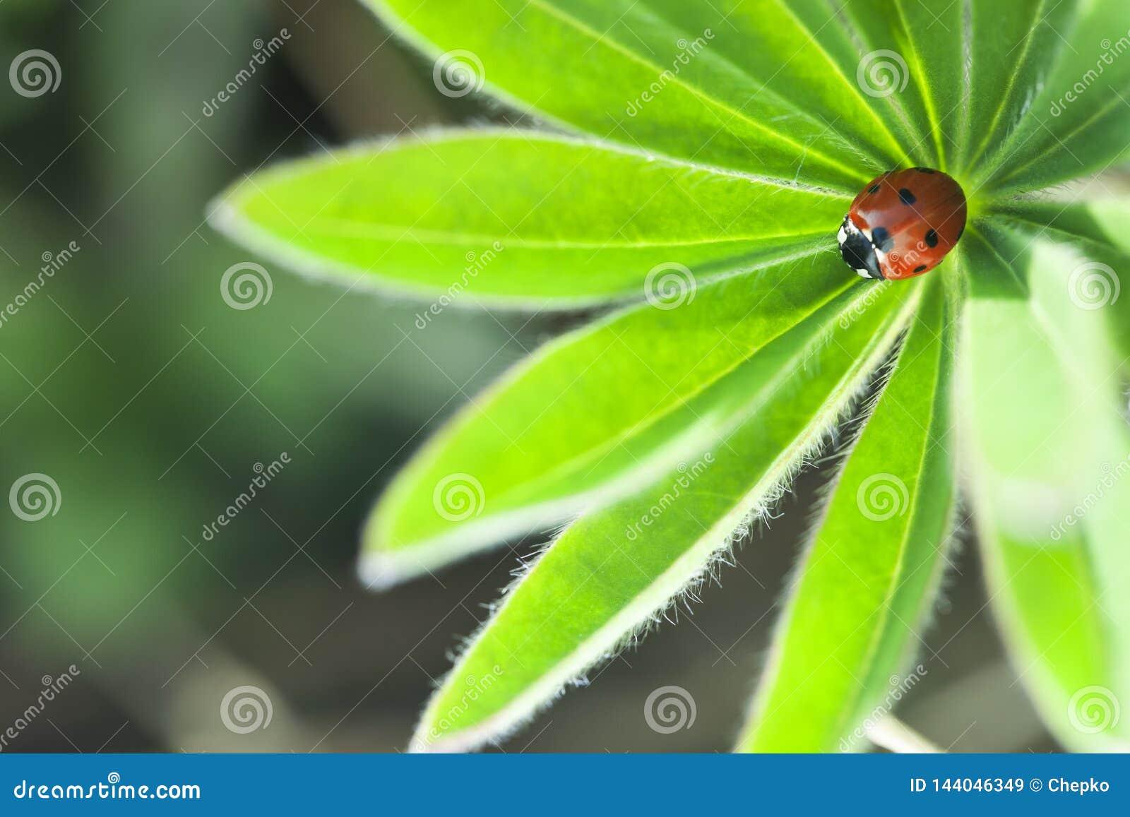 Ladybug на зеленых лист, ladybird проползает на заводе весной в саде летом