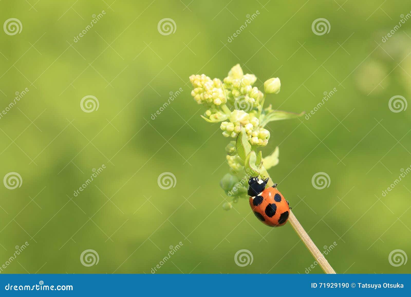 Ladybug на стекле