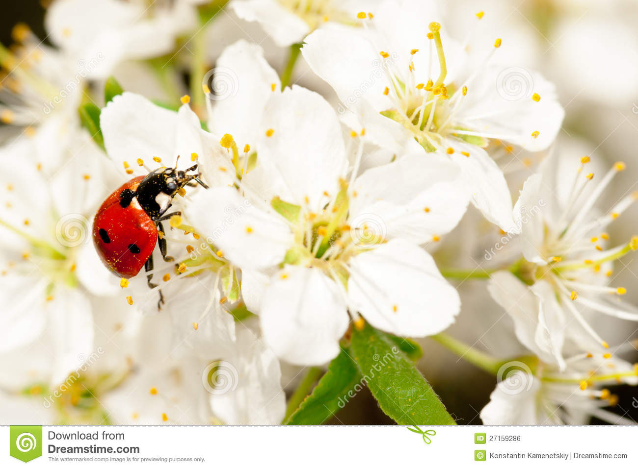 Royalty free stock image ladybug on blooming fruit tree branches
