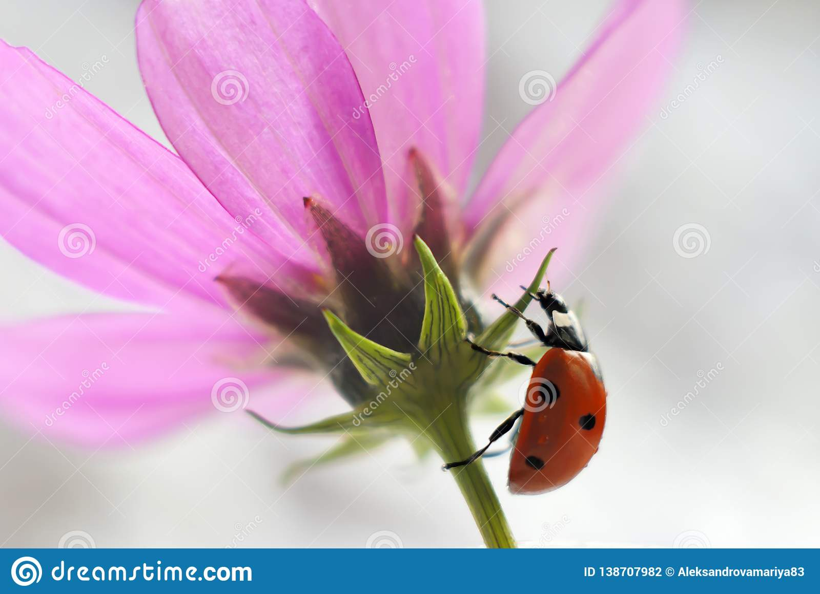 Close-up of a ladybug on a pink flower