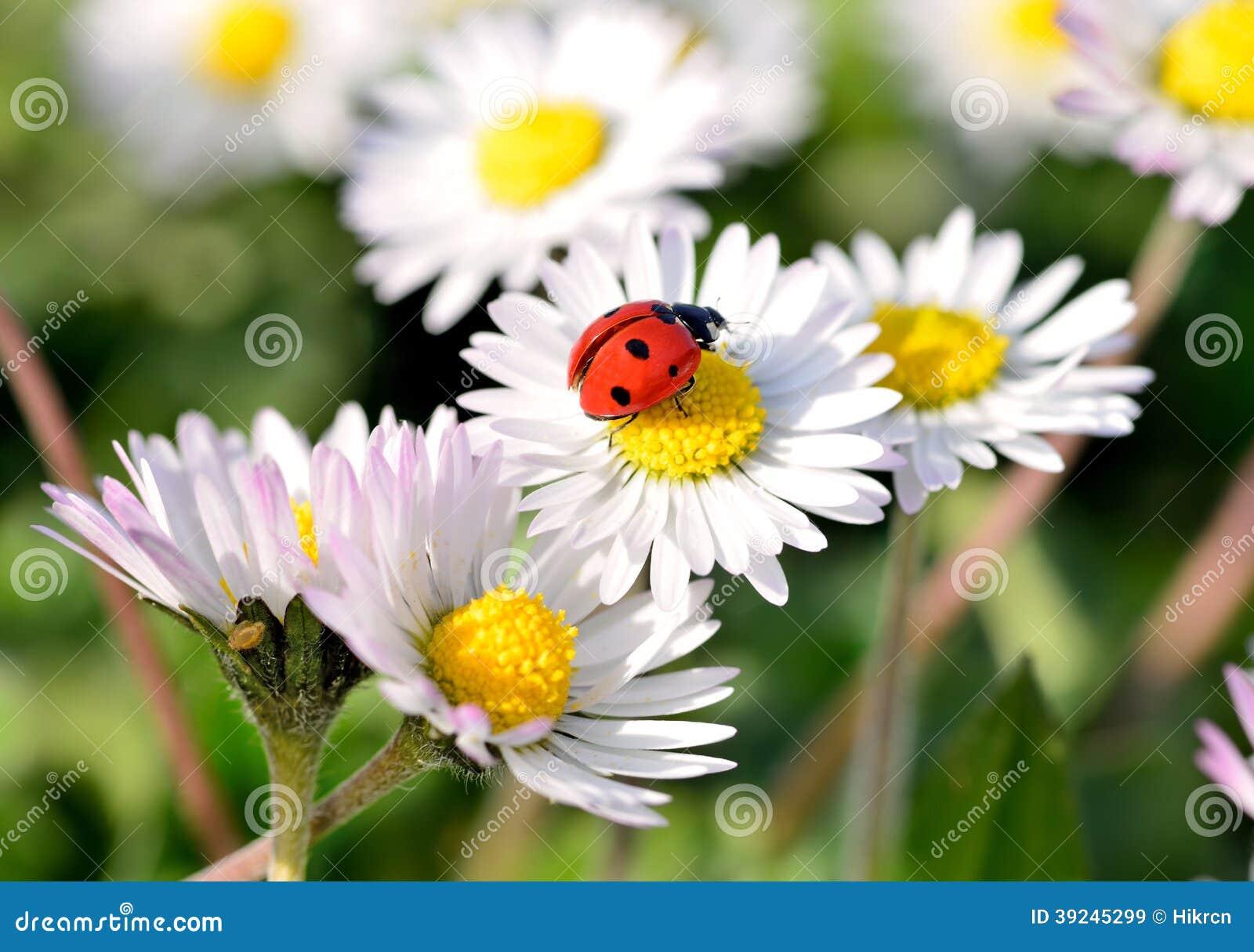 Ladybug on daisy flower stock image image of concept 39245299 ladybug on daisy flower izmirmasajfo