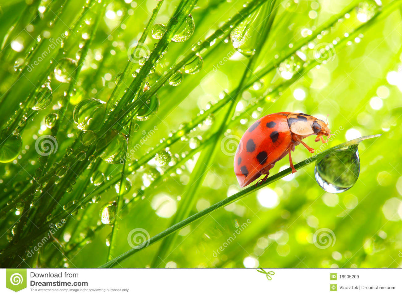 Download The Ladybug On A Dewy Grass. Stock Image - Image of background, animal: 18905209