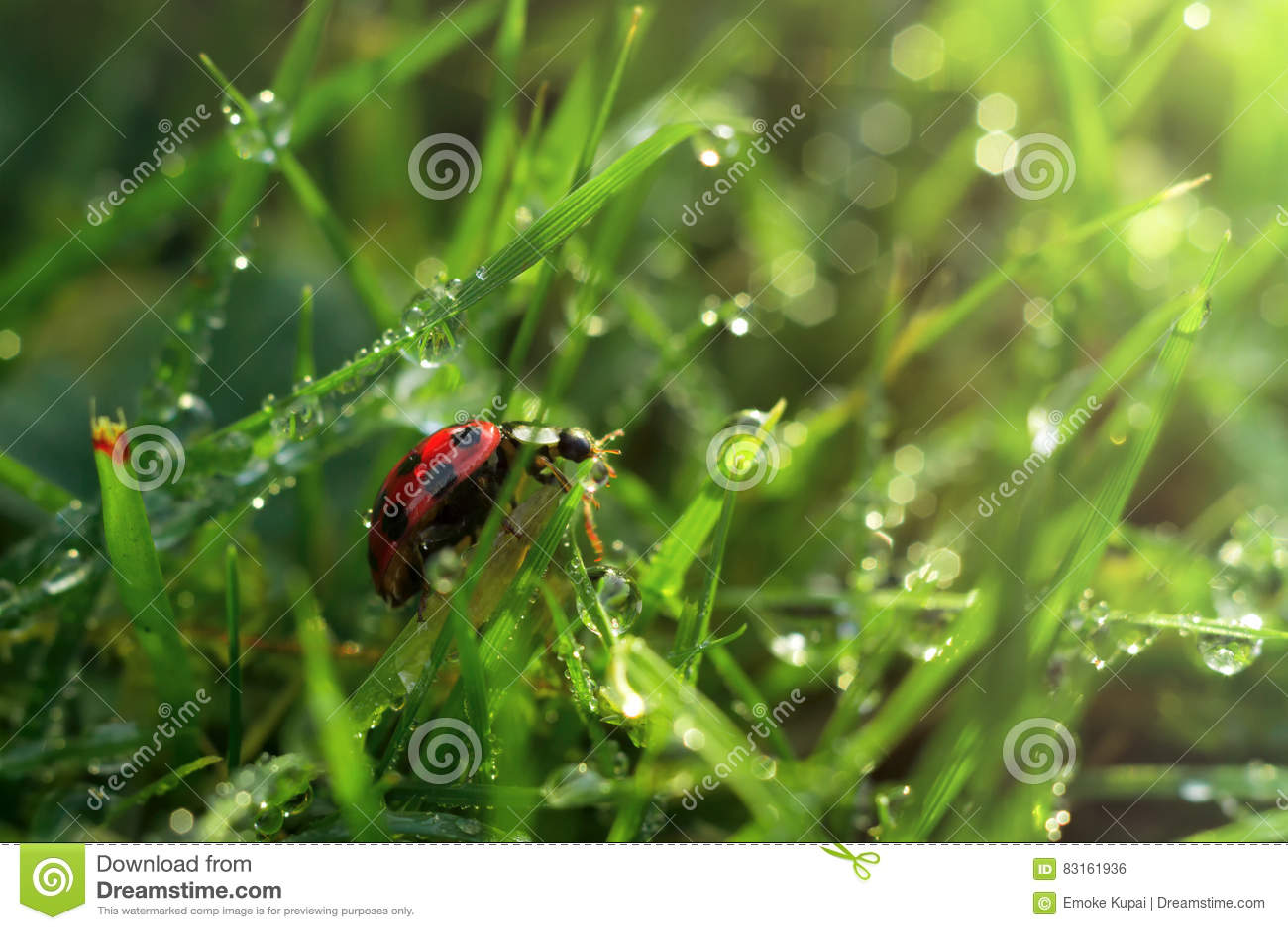 The Ladybug on a dewy grass