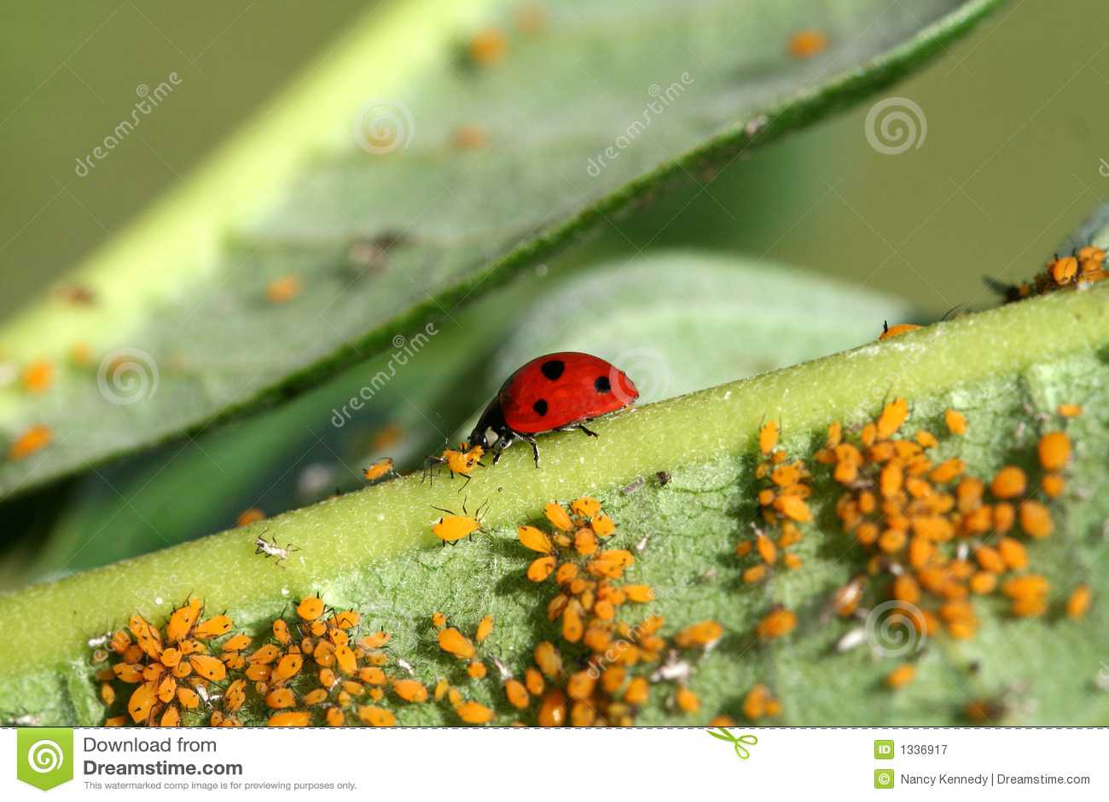 Ladybug Feast Stock Image Image Of Predaceous Harmless 1336917