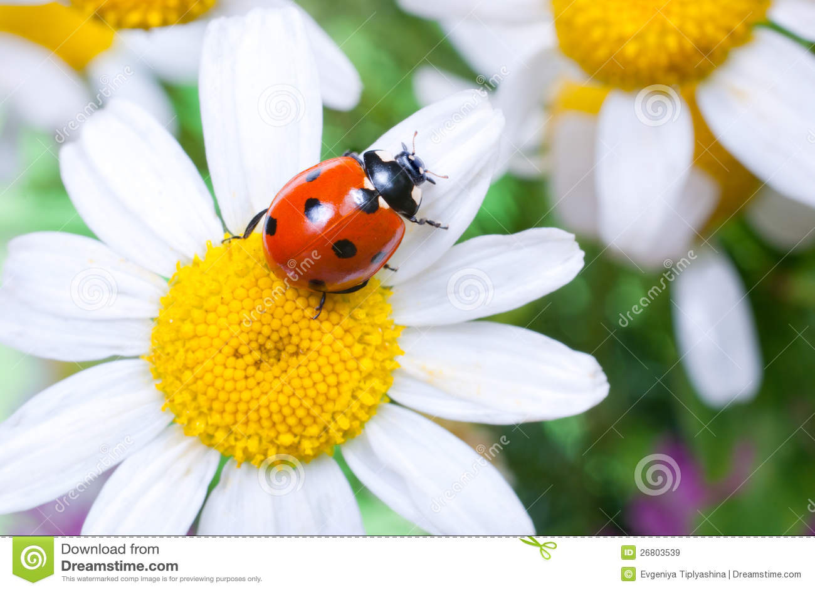 Ladybug On A Flower Royalty Free Stock Images - Image ...