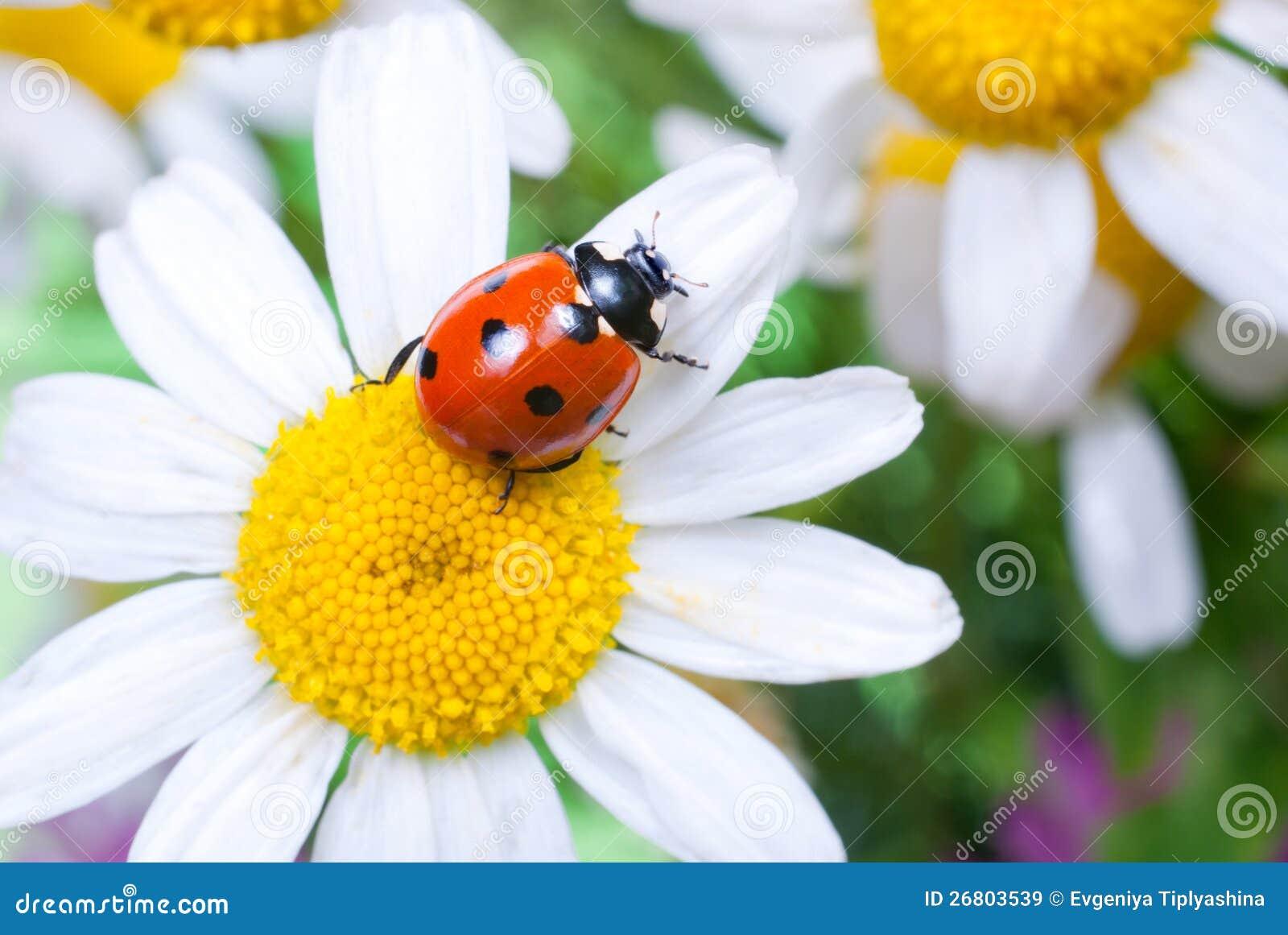 https://thumbs.dreamstime.com/z/ladybug-flower-26803539.jpg