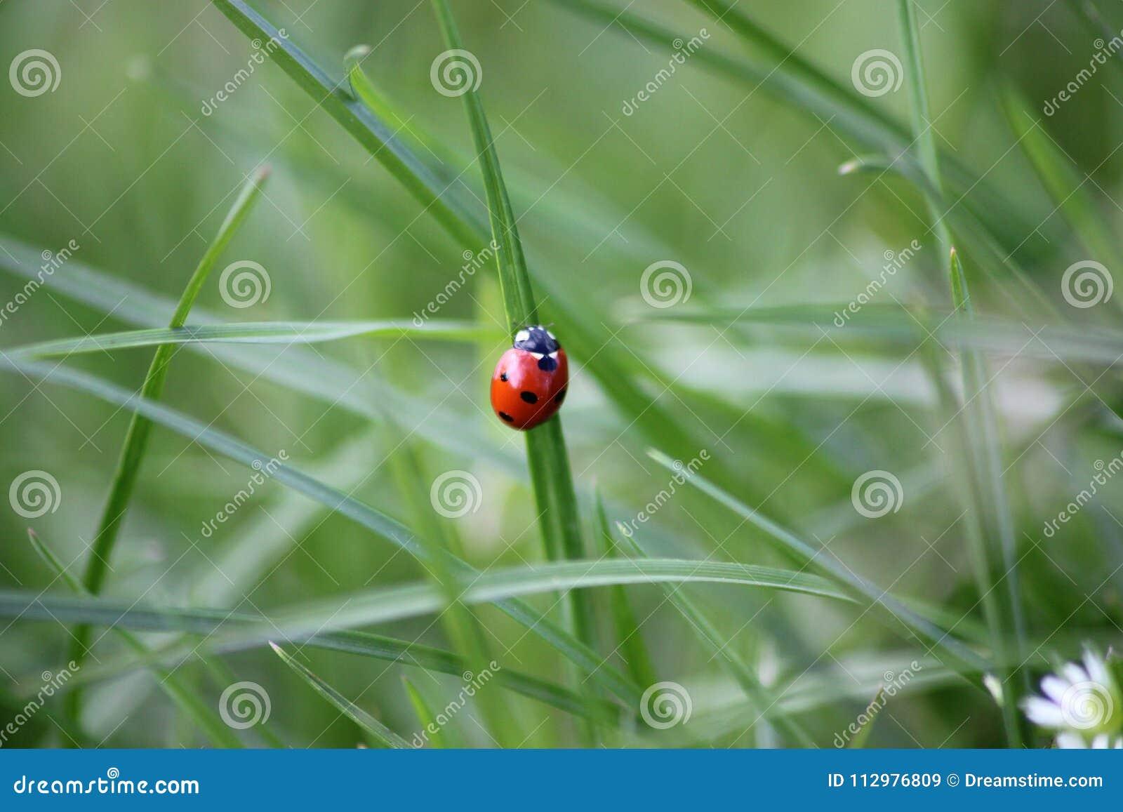 Ladybug on a green field