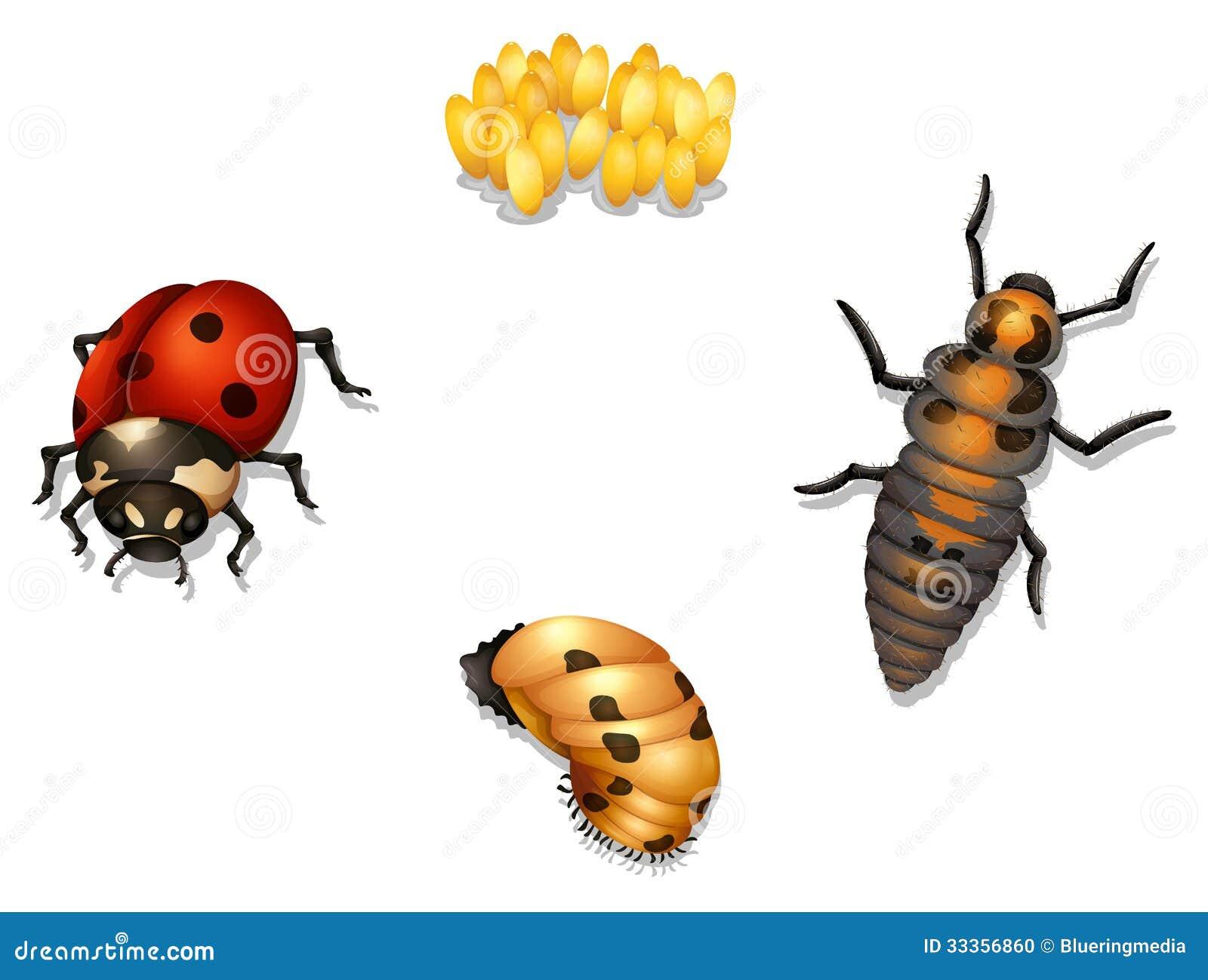 Ladybug Life Cycle Stock Photo - Image: 33356860
