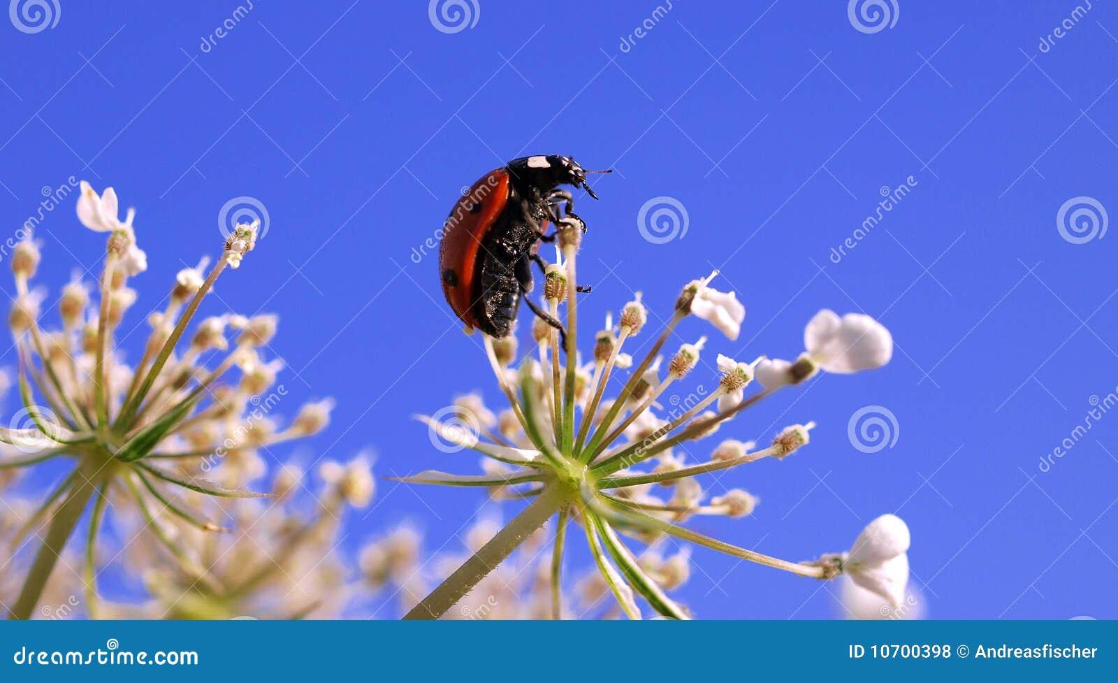 Ladybug na flor