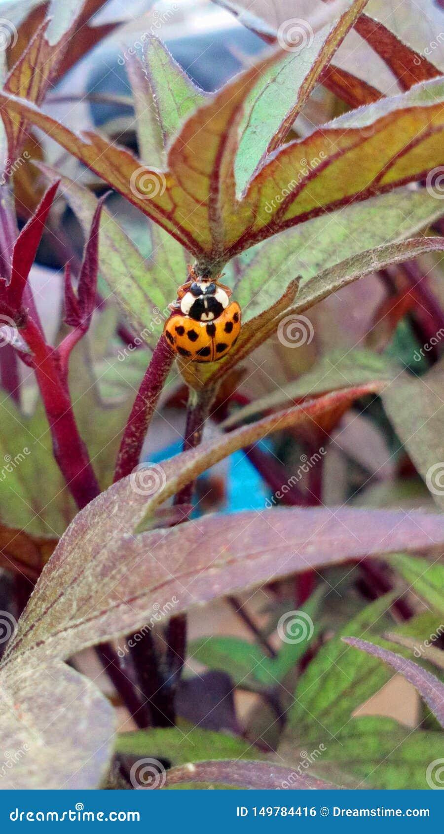Ladybug Orange in Perú