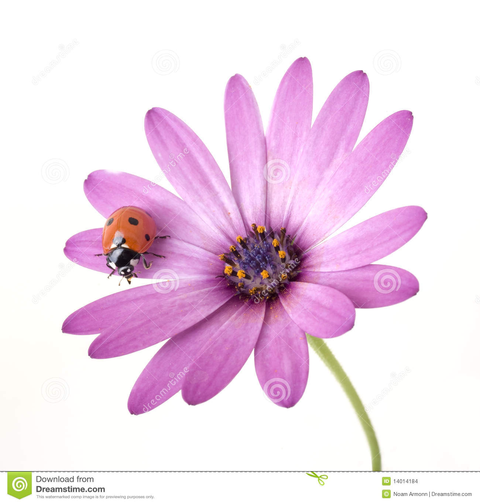 ... On Pink Flowers ladybug on pink flower stock images - image: 14014184