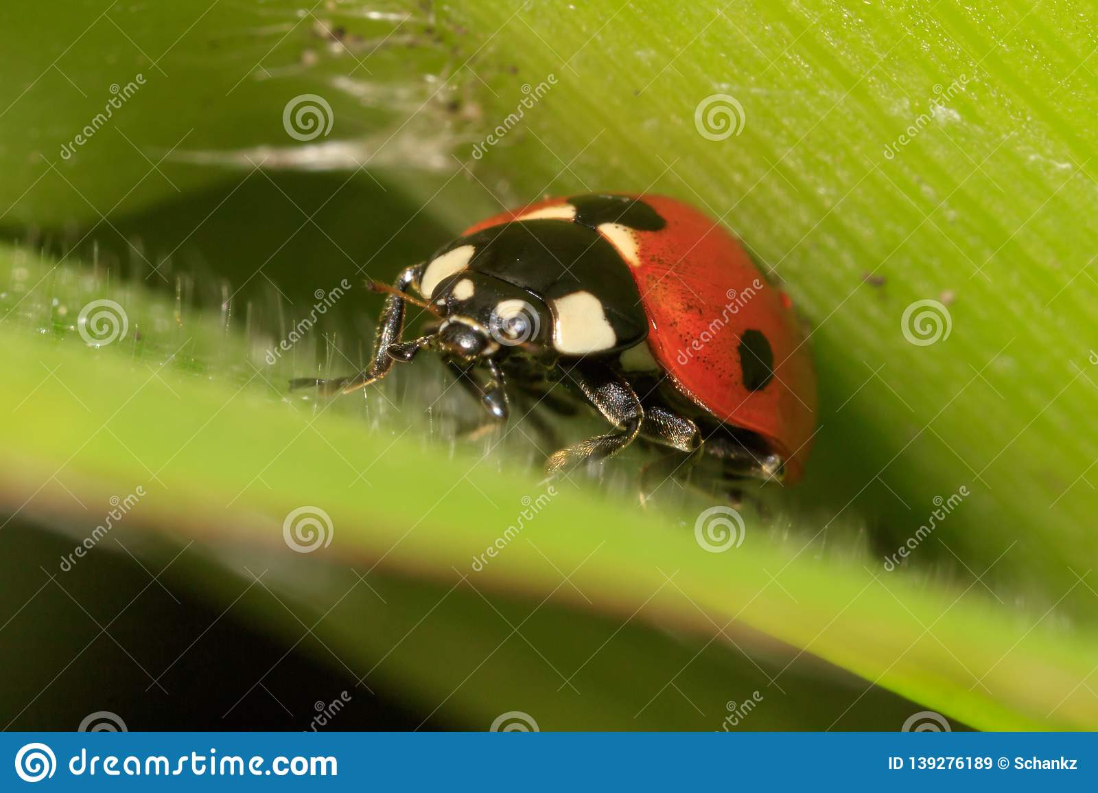 Ladybug on a plant in nature