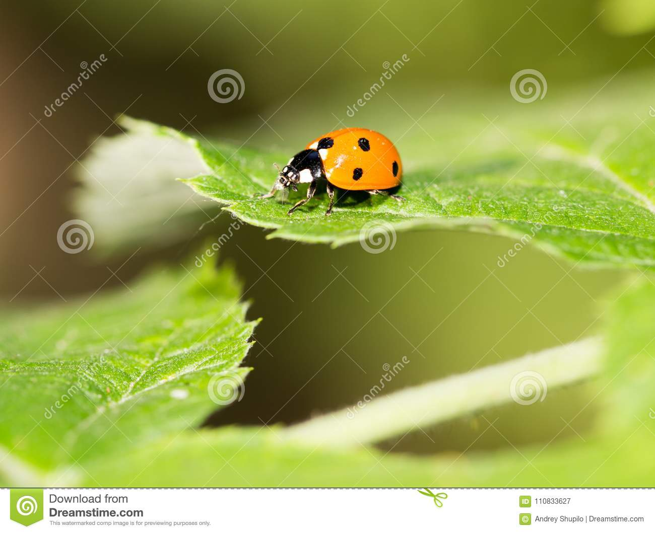 Ladybug on a plant in the nature. macro