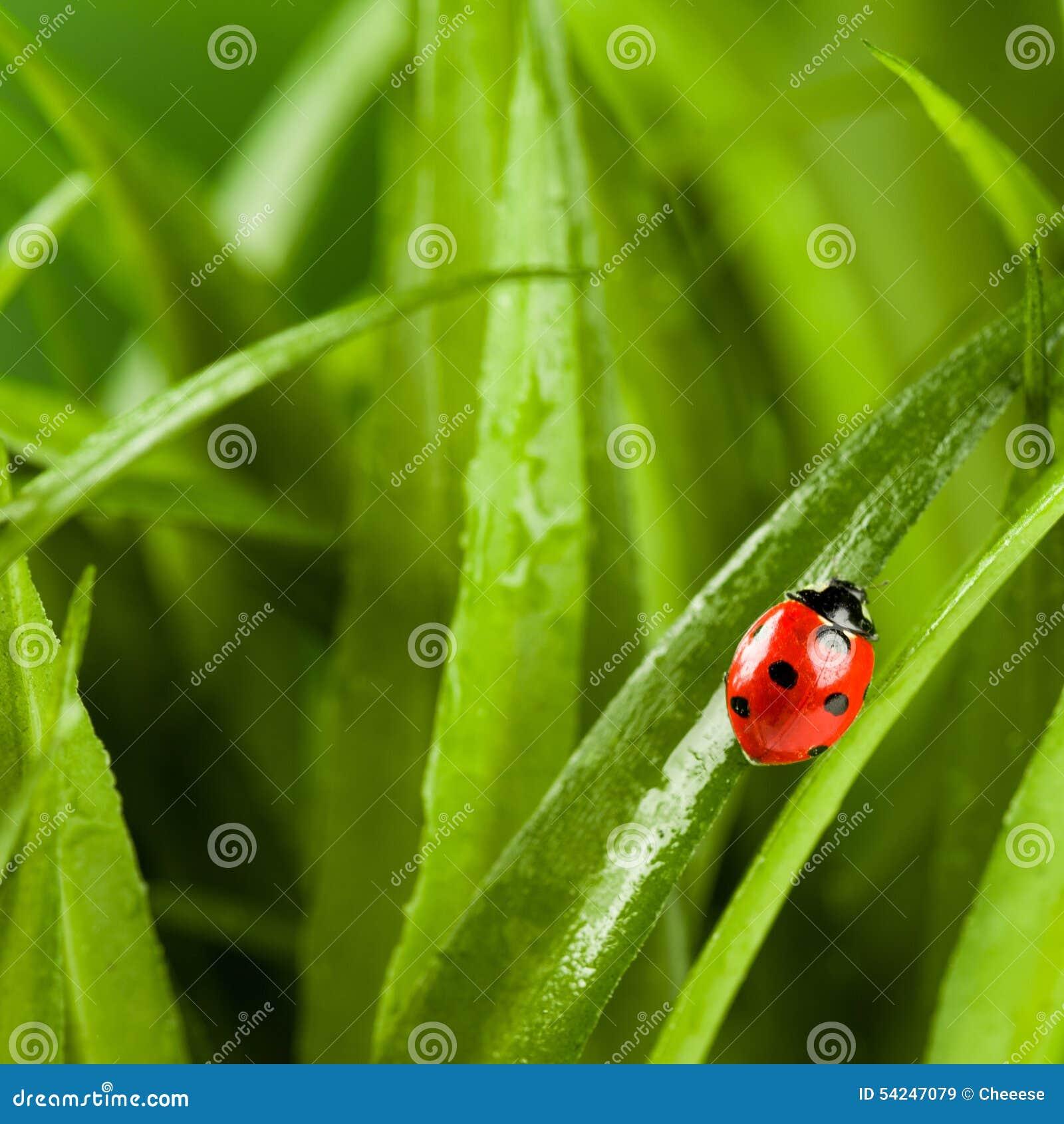 Ladybug que se ejecuta adelante en la lámina de la hierba verde