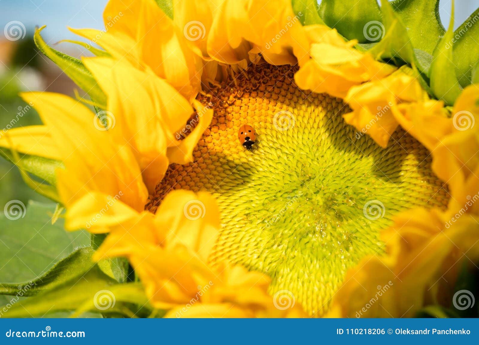 Ladybug sits on beautiful half opened sunflower head with golden