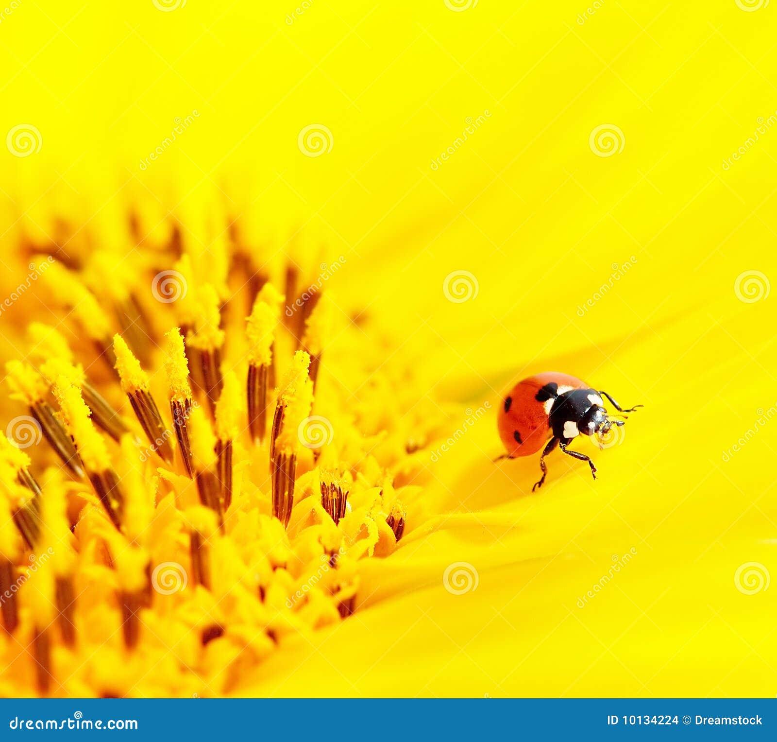 Ladybug sitting on a sunflower