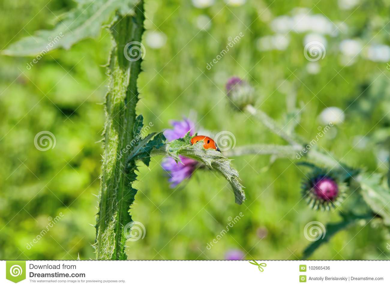 Ladybug On The Stem Of Burrs Stock Photo - Image of aphid