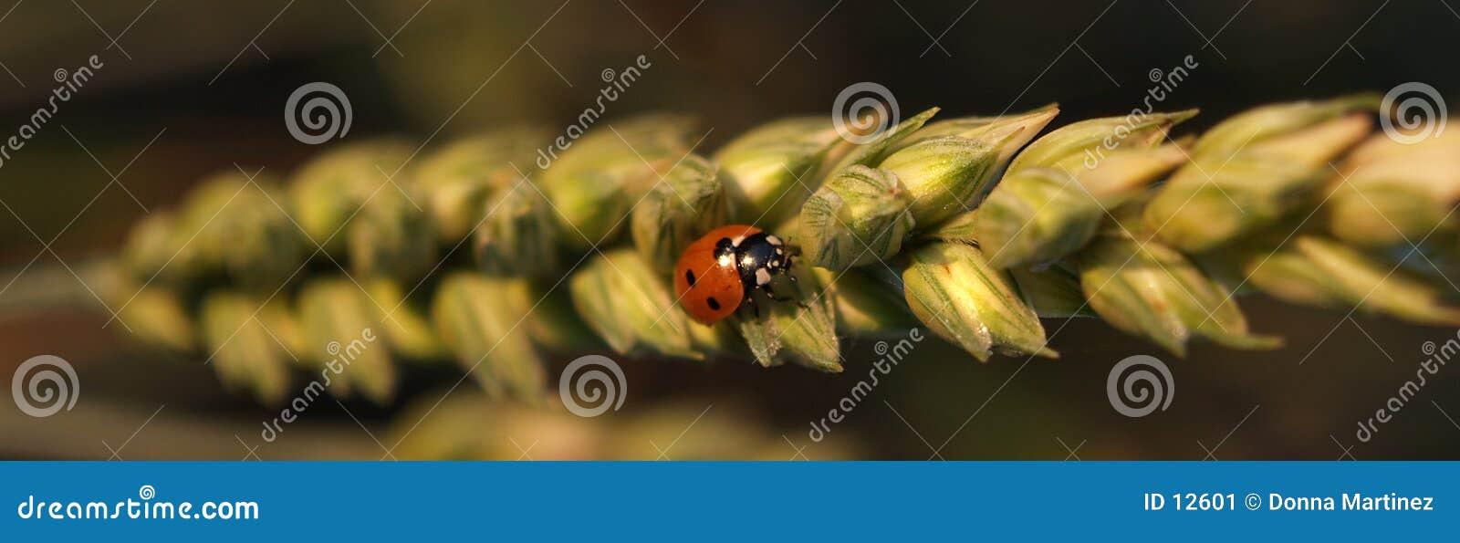 Ladybug su frumento