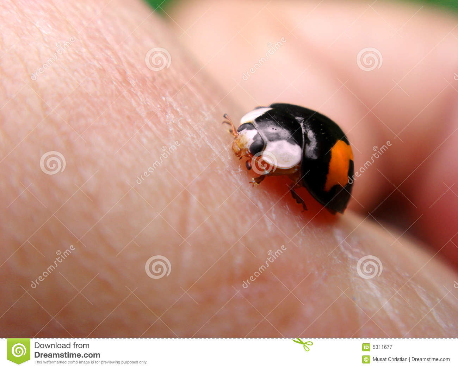 Download Ladybug sulla pelle immagine stock. Immagine di nero, pink - 5311677
