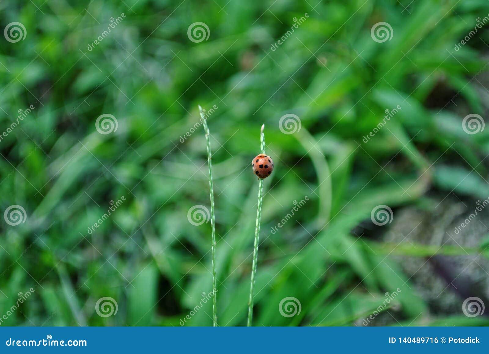 Ladybugs насекомые на Ява