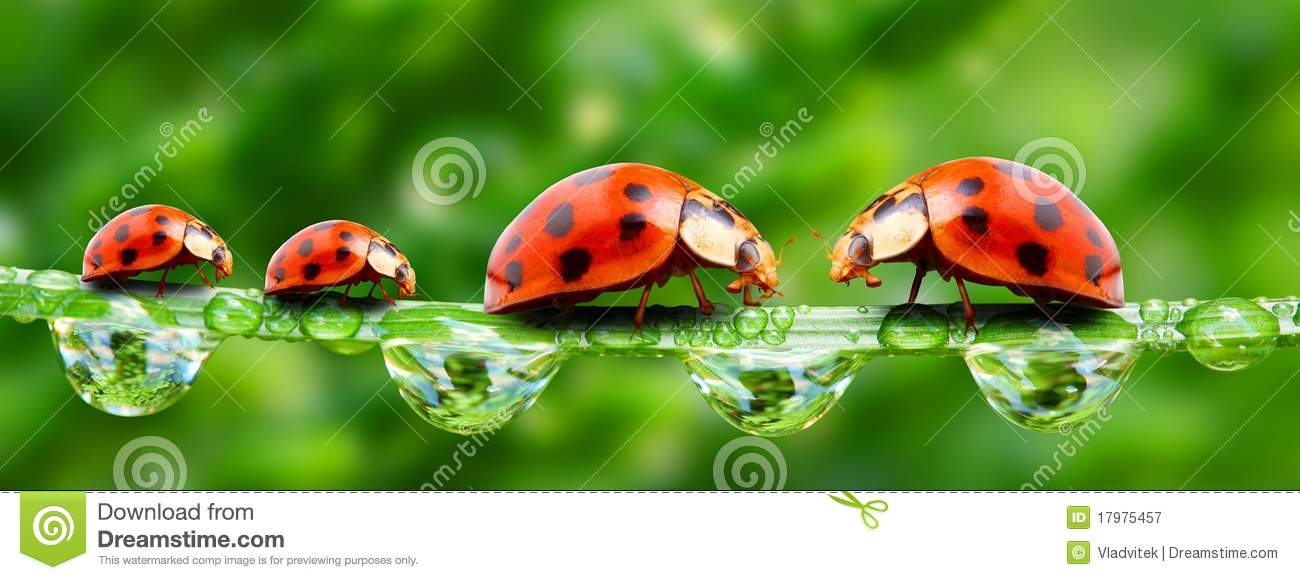 Ladybugs Family. Royalty Free Stock Photography - Image: 17975457