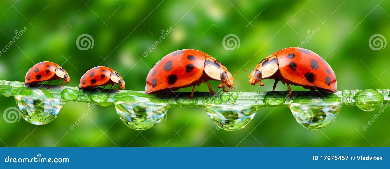 Ladybugs Family. Royalty Free Stock Photography - Image: 17975457