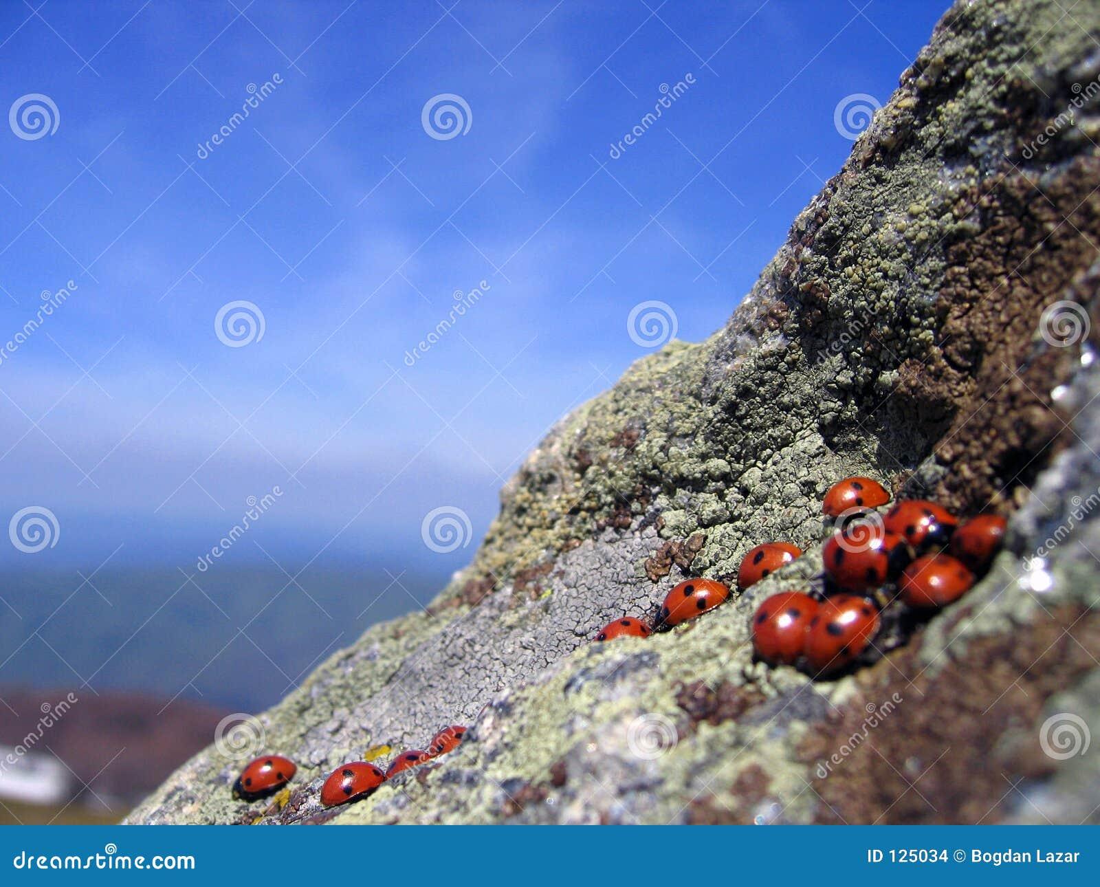 Ladybugs que encontram-se em penhascos elevados