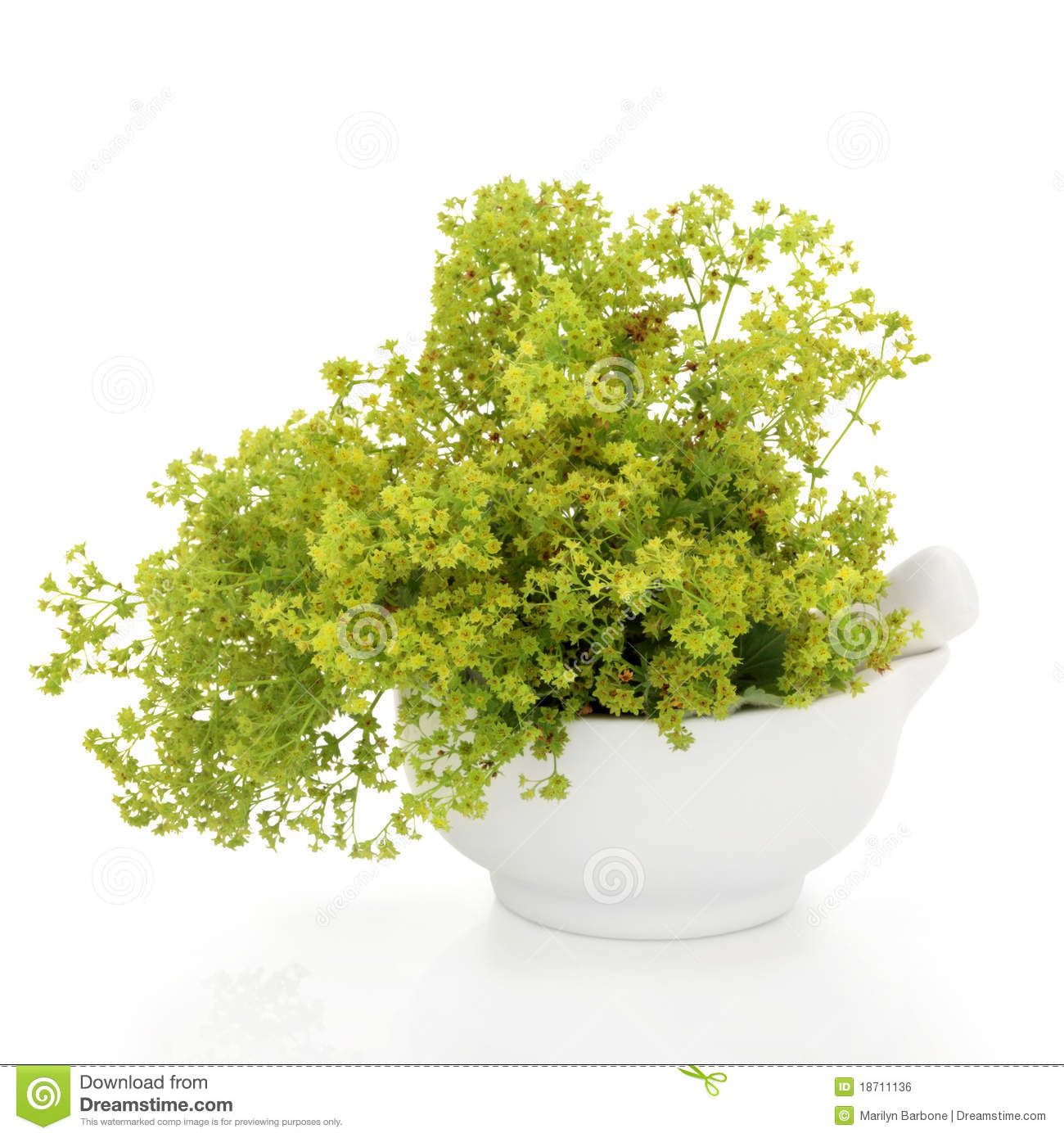 Ladys mantle herb in a porcelain mortar with pestle  over white    Ladys Mantle