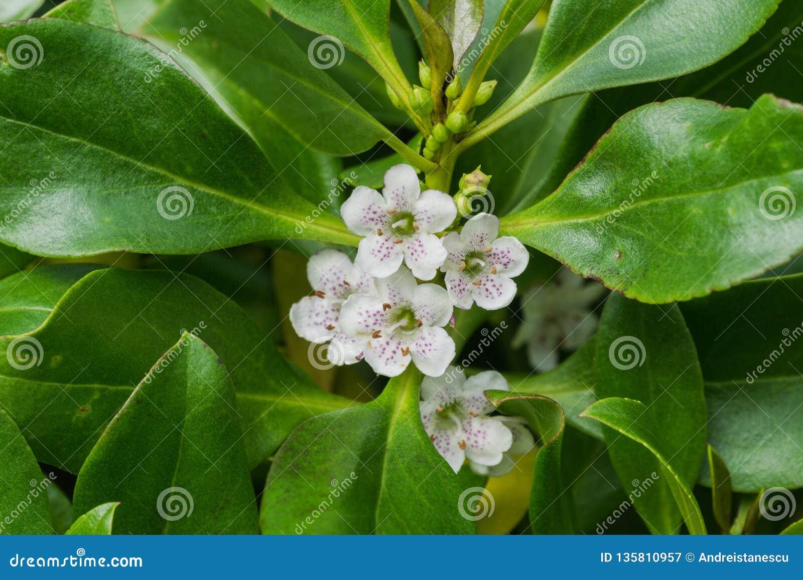 Laetum de Myoporum ; Indigène d arbre de Ngaio vers le Nouvelle-Zélande et considéré envahissant en Californie