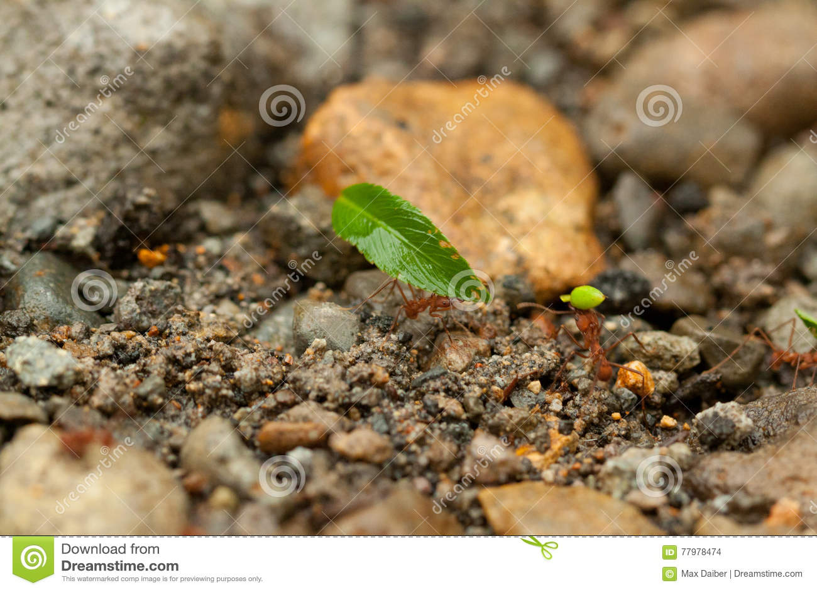 Lagarbete, myror av Costa Rica