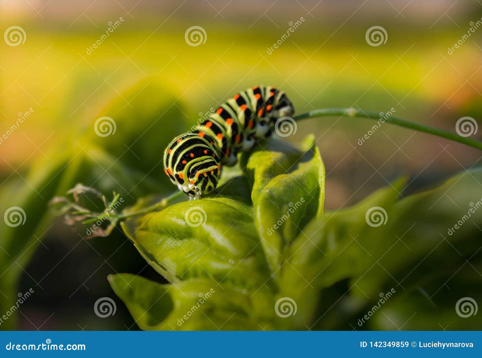 Lagarta de Swallowtail em uma folha