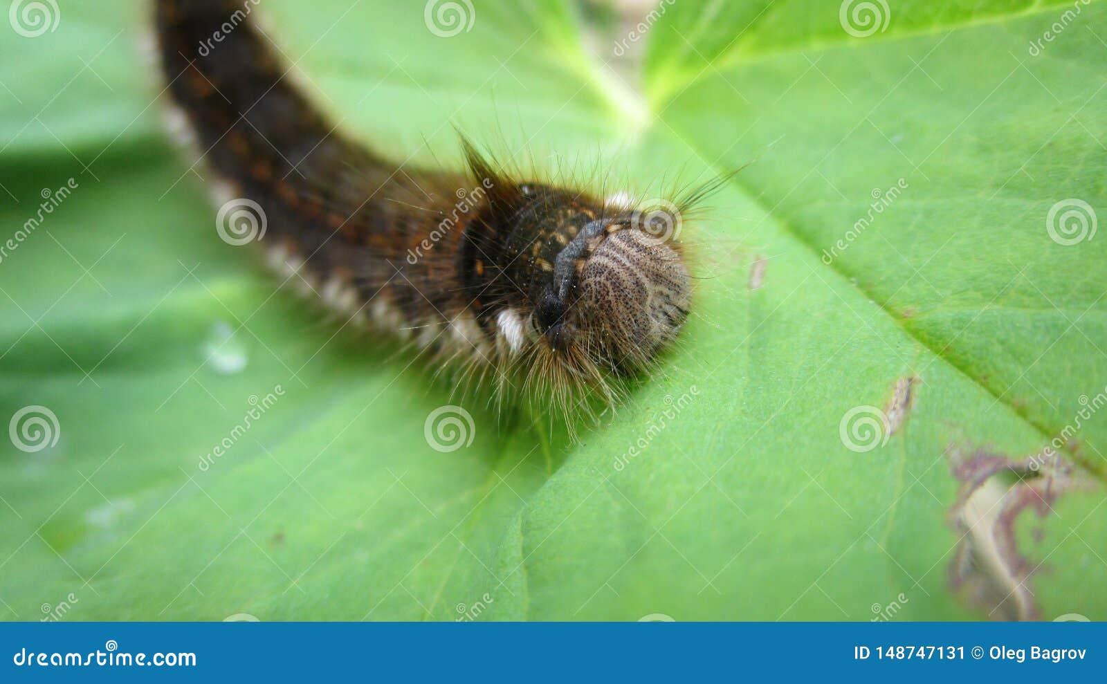 Lagarta desgrenhado que descansa em uma folha
