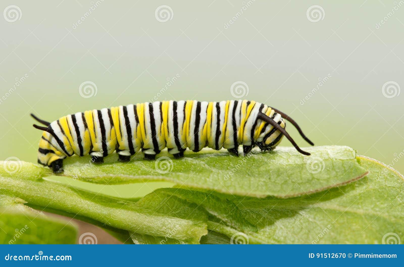 Lagarta velha do monarca de sete dias que descansa em uma folha do milkweed