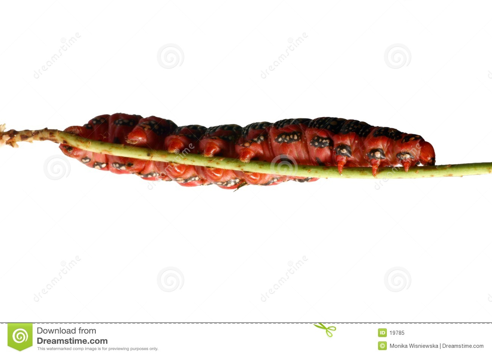 Lagarta vermelha gorda