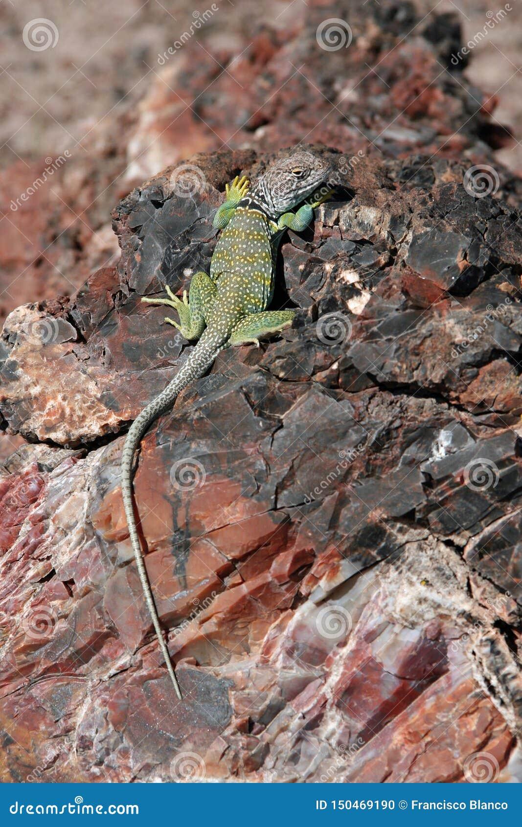 Lagarto agarrado en Forest National Park petrificado, Arizona