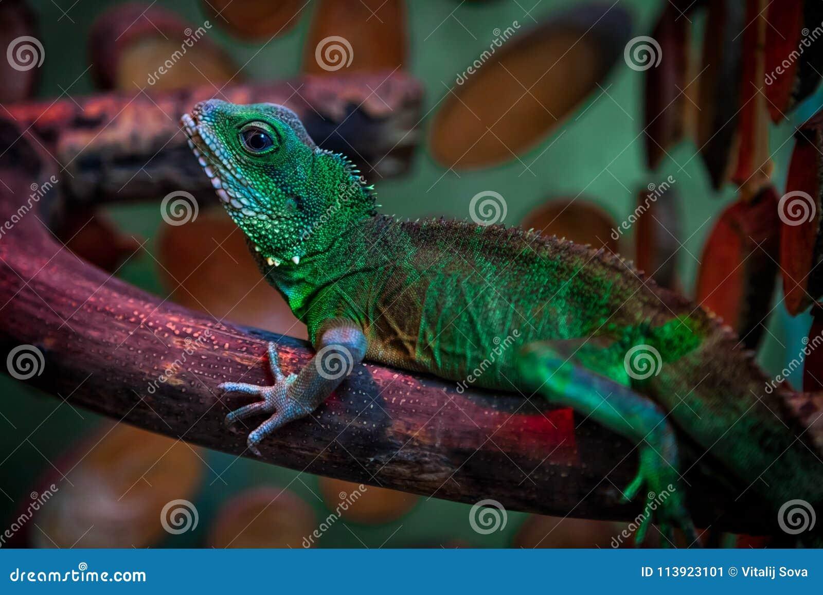 Lagarto bonito verde
