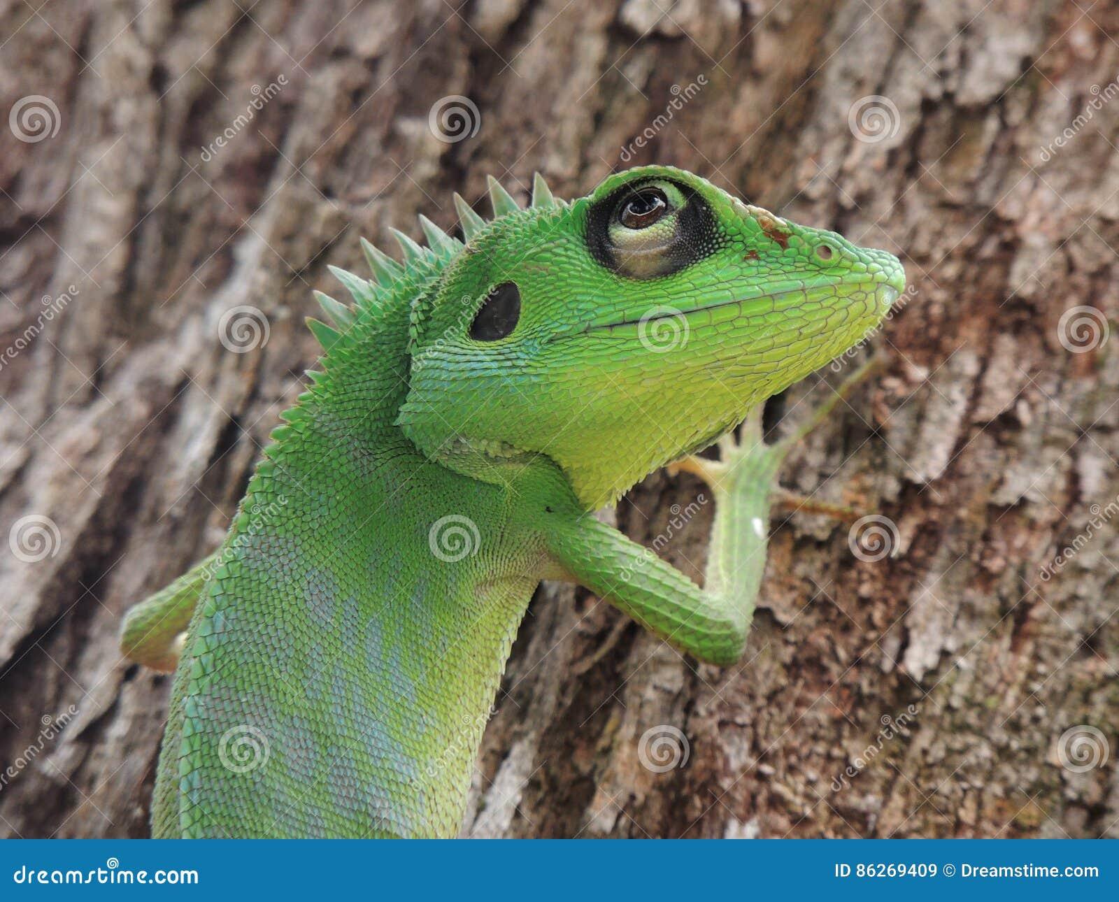 Lagarto con cresta verde