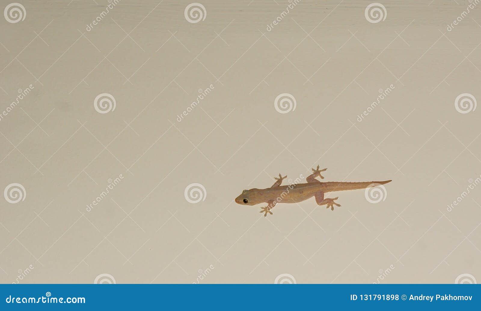 Lagarto de la casa o poca salamandra en una pared blanca