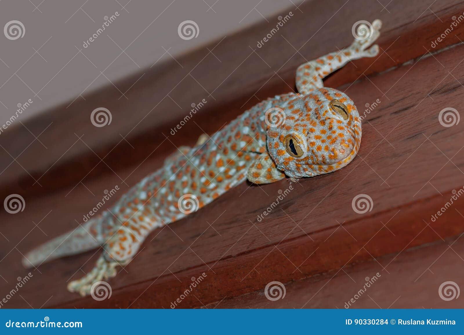 Lagarto do tokee do gekko do geco de Tokay, o azul e o alaranjado que senta-se em uma parede e em um sorriso de madeira