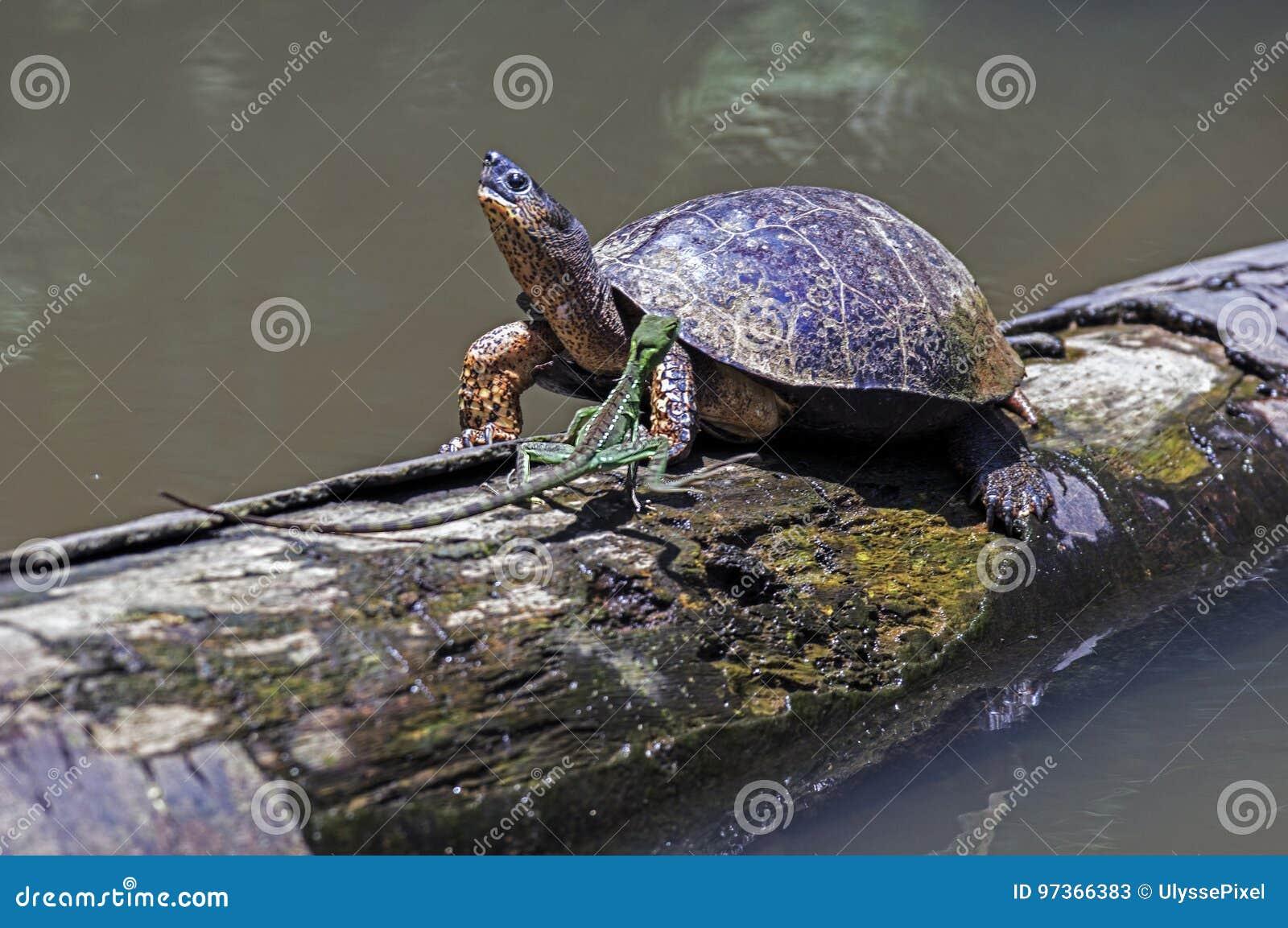 Lagarto e tartaruga running do rio em Tortuguero - Costa Rica