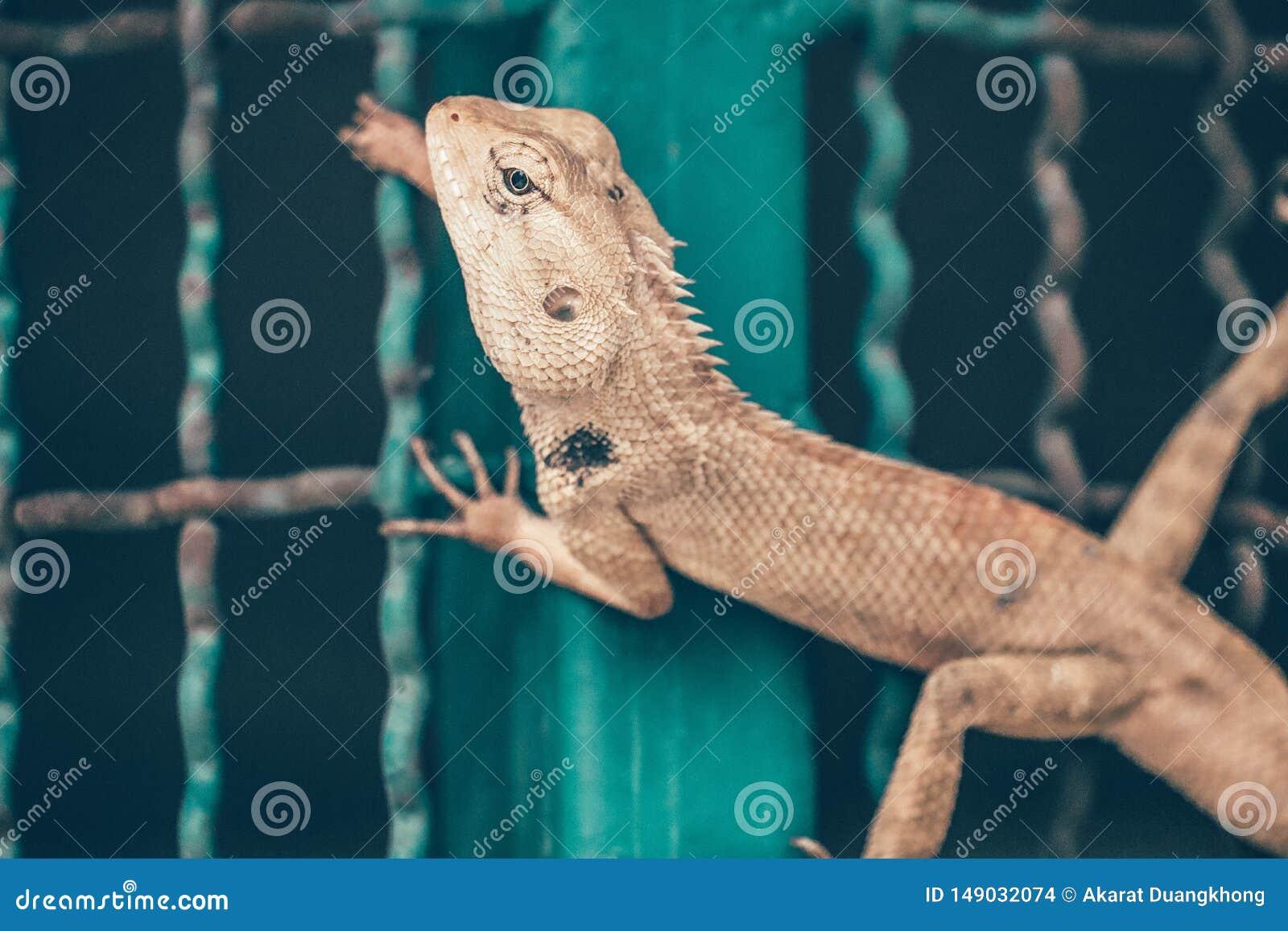 Lagarto en la jaula