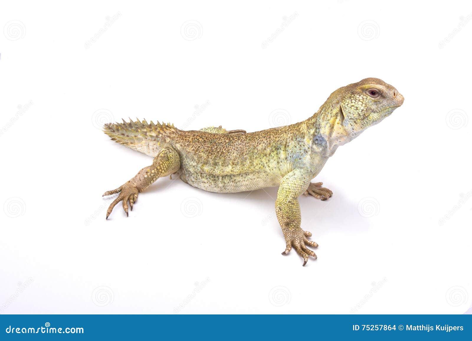 Lagarto espinoso-atado principesco (Uromastyx prínceps)