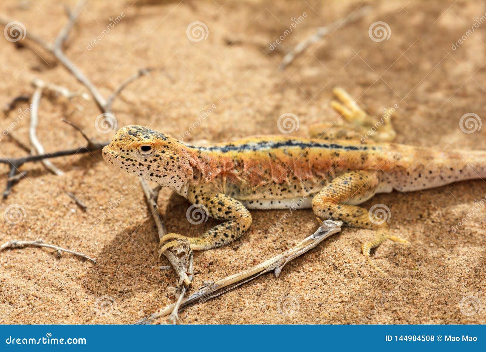 Lagarto na areia no deserto de Gobi, China