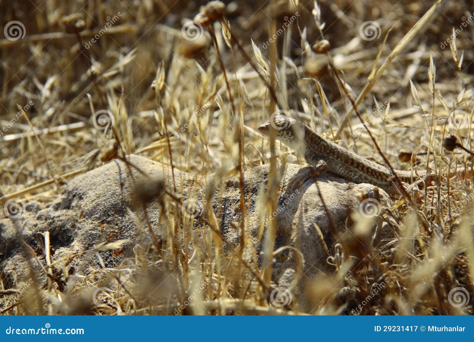 Download Lagarto na rocha imagem de stock. Imagem de animal, grama - 29231417