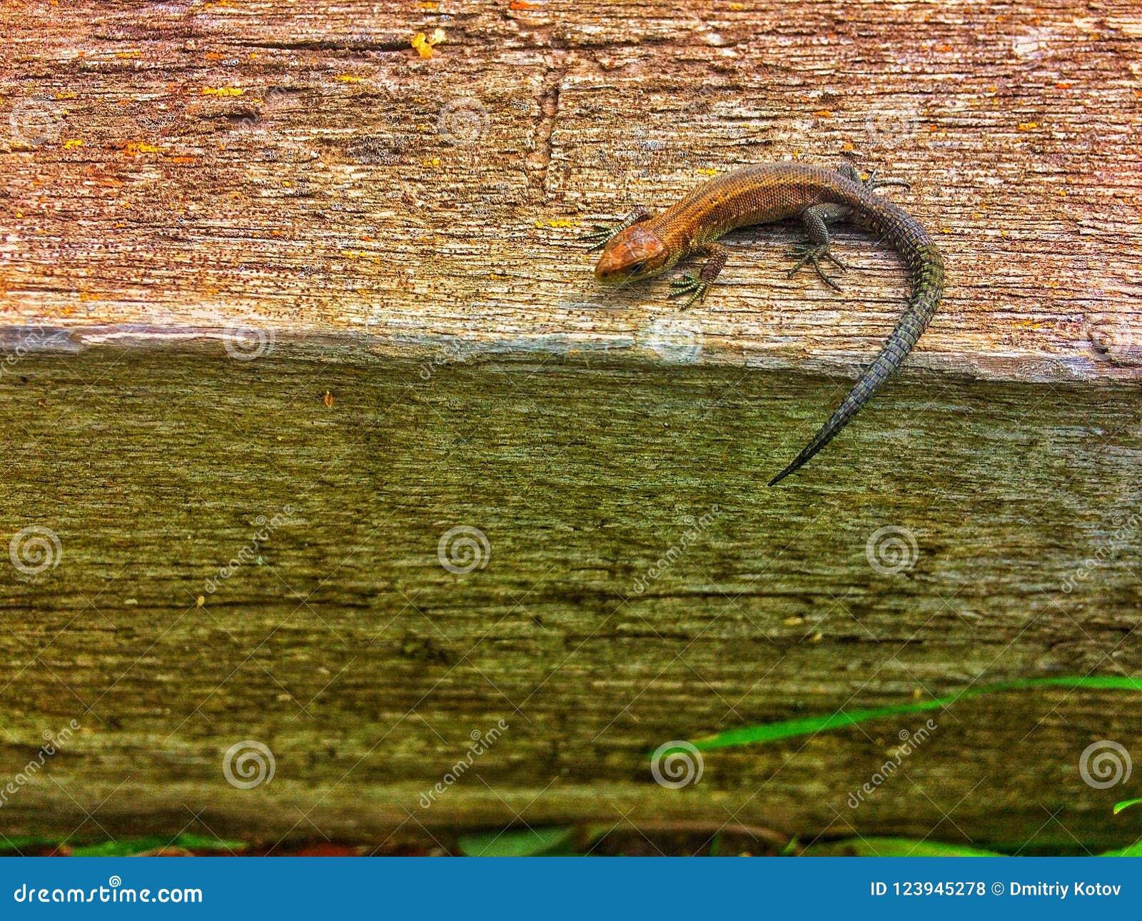 Lagarto solo en superficie de madera