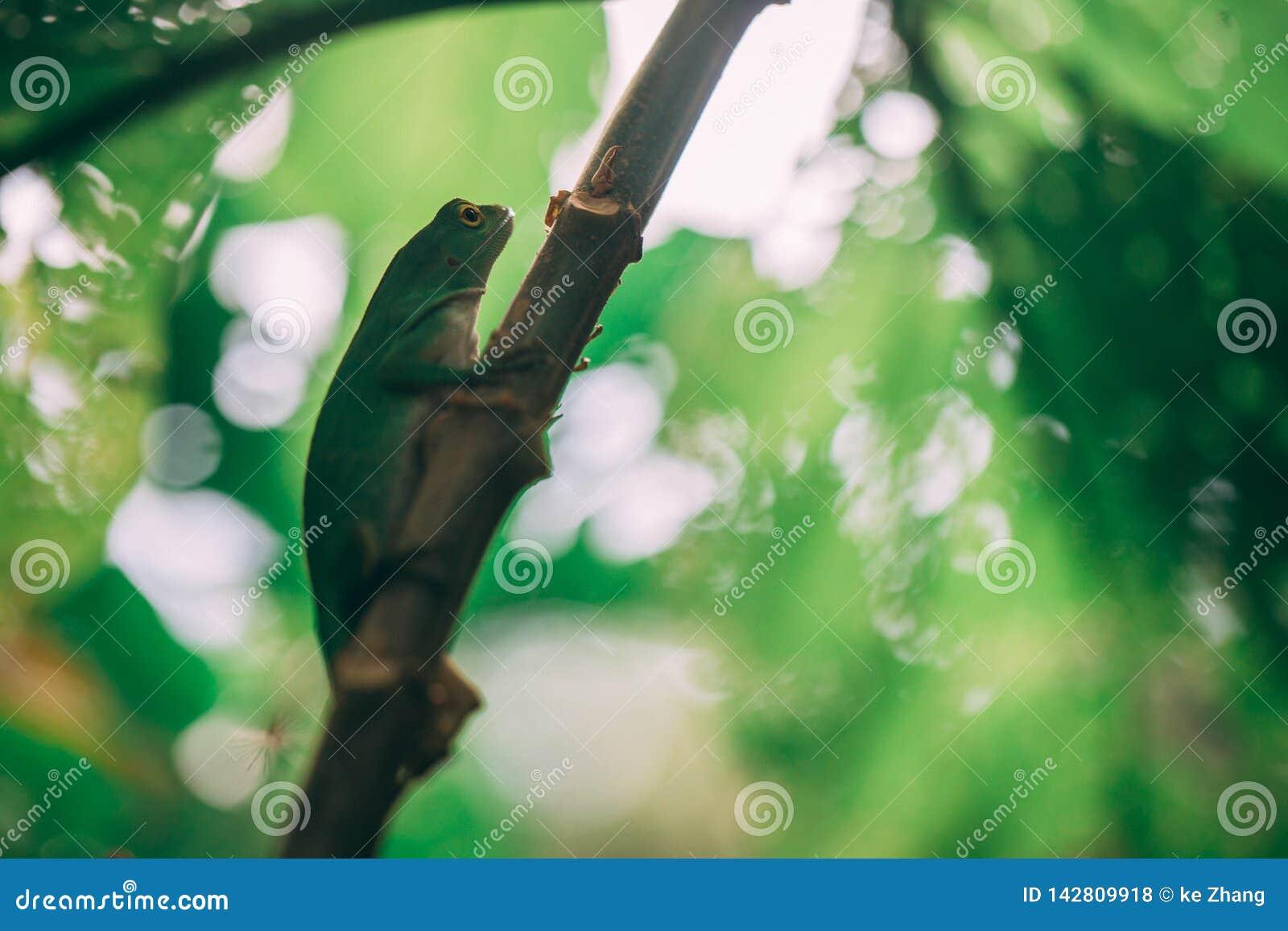 Lagarto verde na floresta úmida em Costa-Rica