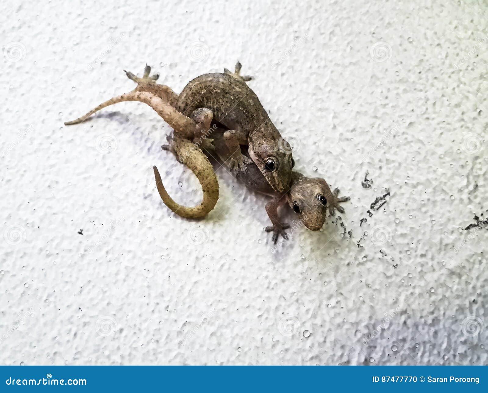 Lagartos de acoplamiento - salamandras Plano-atadas tropicales de la casa