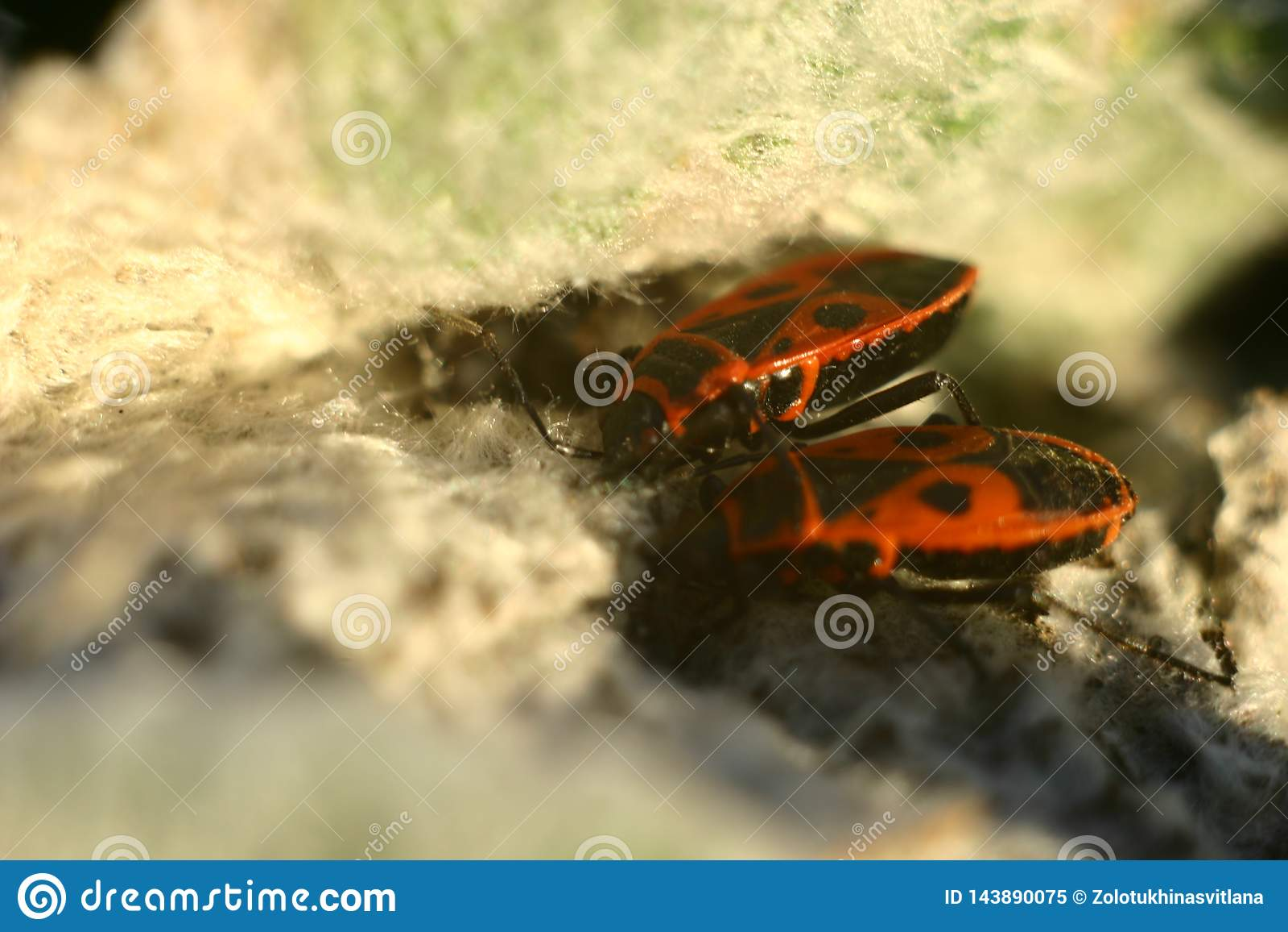 Lage diepte van gebied Leuke heldere rode en zwarte kever Dit is een wingless rood insect of soldier's insect