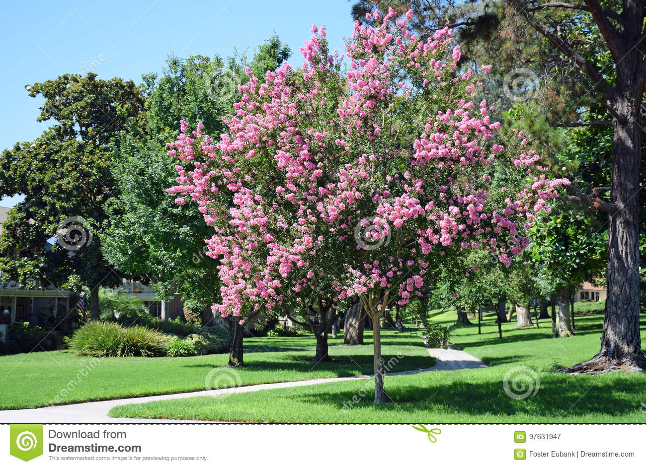 Lagerstroemia, commonly known as crape myrtle or crepe myrtle.